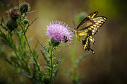 Keith Allen - Eastern Swallowtail...
