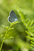 Vivid Digital Art - Eastern Tailed Blue Butterfly by Christina Rollo