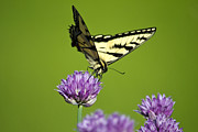 Eating Entomology Metal Prints - Eastern Tiger Swallowtail Butterfly And Purple Chives Metal Print by Christina Rollo