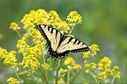 Daniel Behm Metal Prints - Eastern Tiger Swallowtail Butterfly Metal Print by Daniel Behm