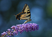 Butterfly On Flower Posters - Eastern Tiger Swallowtail Butterfly Poster by Sandy Keeton