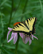 David Hintz - Eastern Tiger Swallowtail