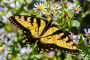 Nc Prints - Eastern Tiger Swallowtail Print by John Haldane