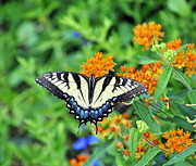 Pamela Parton Photography Framed Prints - Eastern Tiger Swallowtail Framed Print by Pamela Parton