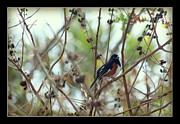 Rosanne Jordan - Eastern Towhee in a Tree