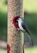 Nature Cards Photos - Eastern Tufted Titmouse  by Carol Groenen