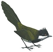 Runner Drawings Posters - Eastern whipbird Poster by Anonymous