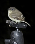 Smokey Mountain Posters - Eastern Wood Peewee on Tripod Poster by Michael Peychich