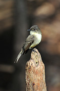 Flycatcher Originals - Eastern Wood-Pewee by Alan Lenk
