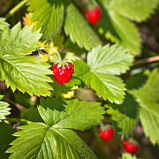 Wild Strawberries Posters - Eat me Poster by Delphimages Photo Creations