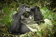 Ape Photo Originals - Eating Mountain Gorilla by Juergen Ritterbach