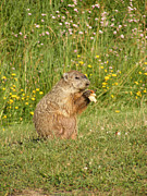 Groundhog Photos - Eating My Tater by Melissa Lightner