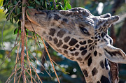 Giraffe Photos - Eating Organic by Dan Holm