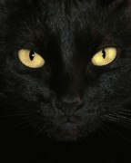 Cats Photo Prints - Ebony Eyes Print by Sabrina L Ryan