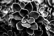 Ornamental Plant Art - Echeveria elegans by Fabrizio Troiani