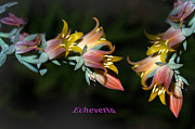 Stamen Digital Art Framed Prints - Echeveria Framed Print by The Stone Age