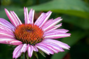 Pink Flower Posters - Echinacea Poster by Bill  Wakeley