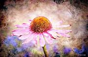 Echinacea Coneflower Print by Barbara Chichester