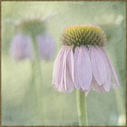 """flower Texture"" Framed Prints - Echinacea Coneflower Framed Print by Juli Scalzi"