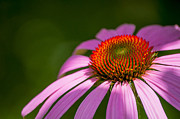 Debra Vronch Prints - Echinacea Print by Debra Vronch