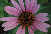 Plants From My Garden - Echinacea Fan by Tom Wurl
