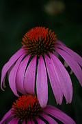 Lindy Whiton - Echinacea in July