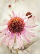 Close Ups Prints - Echinacea Print by Priska Wettstein