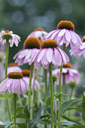 Coneflower Prints - Echinacea Purpurea Print by Juli Scalzi