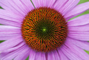 Ornamental Plants Posters - Echinacea Purpurea Rubinglow flowers Poster by Tim Gainey