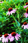 Shaileen Landsberg - Echinacea