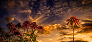 Mural Photos - Echinacea Sunset by Bob Orsillo