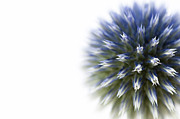 Asteraceae Framed Prints - Echinops  Framed Print by Anne Gilbert