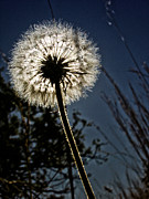 Dandelion Photos Framed Prints - Eclipse Framed Print by Ryan Vincent