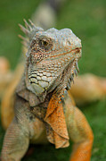 Iguana Metal Prints - Ecuador Guayaquil Iguana In Iguana Park  Metal Print by Anonymous