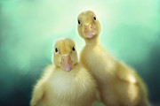 Ducklings Prints - Edgar and Sally Print by Amy Tyler