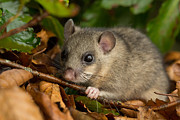 Bushy Tail Photos - Edible Doormouse by Louise Heusinkveld