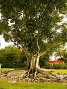Fort Meyers Photos - Edison Banyan Tree by Kathy Barney