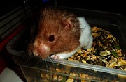 Syrian Hamster Photos - Edmundo by Beth Grant