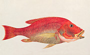 Golden Fish Framed Prints - Eekan Bambangan Framed Print by Chinese School
