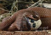 Daniel Heuclin - Egg-eating Snake