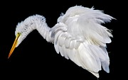 Thomas Photography  Thomas - Egret all Fluffed out