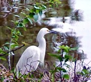 E White Framed Prints - Egret Framed Print by E White