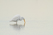 Calming Posters - Egret Finds Himself Poster by Karol  Livote