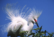 Breeding Posters - Egret finery Poster by Elvira Butler
