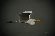 Great Birds Digital Art Posters - Egret Fly By 2 Poster by Ernie Echols