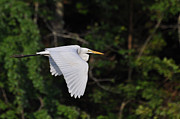 Paul Lyndon Phillips Photos - Egret Fly By  - egfbc2732d by Paul Lyndon Phillips