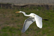 Jim Nelson - Egret Fly By
