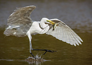 Ardea Posters - Egret happy dance...... Poster by Carl Jackson