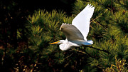 Great Egret Framed Prints - Egret in Flight 1 Framed Print by Lara Ellis