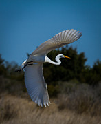 Outer Banks Photos - Egret in Flight by Bruce Siulinski